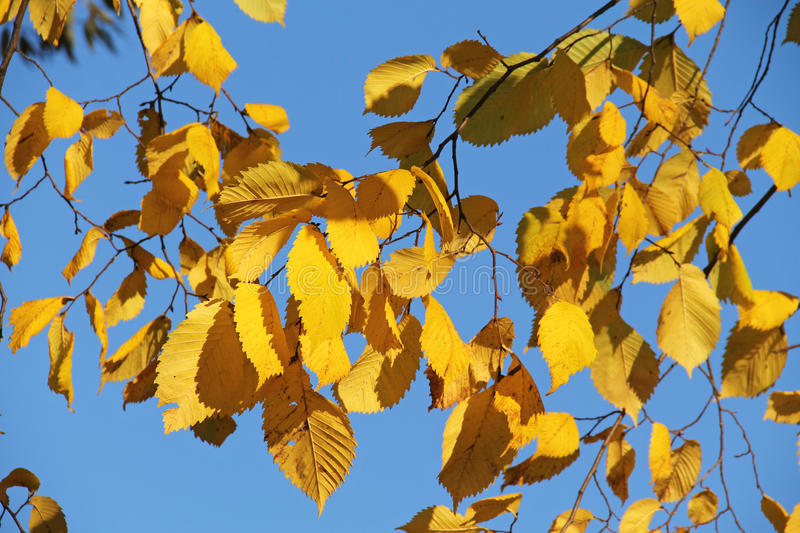 Bright yellow alder leaves. Twigs of alder with bright yellow leaves and blue sky royalty free stock photo