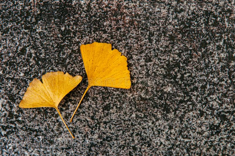 Bright yellow autumn Gingo leaves on grey stone background royalty free stock image