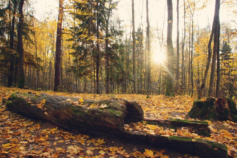 Bright yellow autumn leaves ground in the park next to a big fallen tree, log.  stock photo