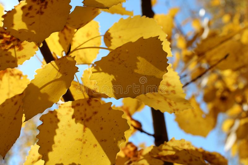 Bright yellow autumn leaves tree branches against blue sky stock photography