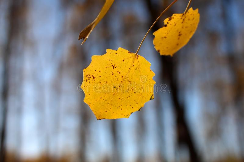 Bright yellow autumn leaves tree branches against blue sky stock photo