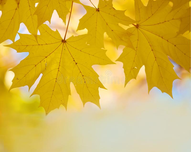 Bright yellow autumn maple leaves against the sky. Screensaver, natural autumn background. Bright yellow autumn maple leaves against the sky. Screensaver royalty free stock images