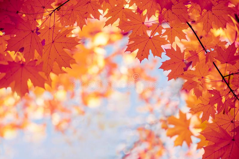 Bright yellow autumn maple leaves against the sky. Screensaver, natural autumn background. Bright yellow autumn maple leaves against the sky. Screensaver stock image