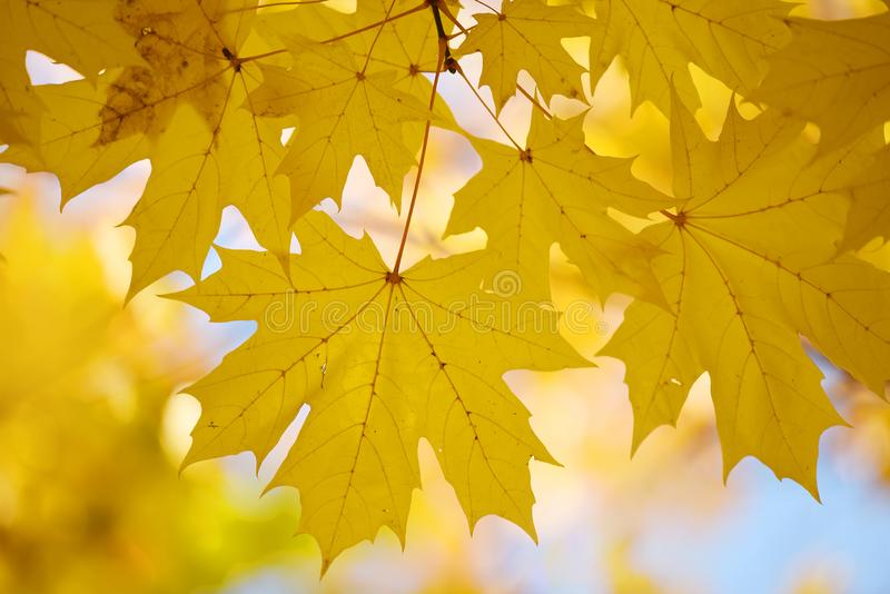 Bright yellow autumn maple leaves against the sky. Screensaver, natural back natural autumn background. stock images