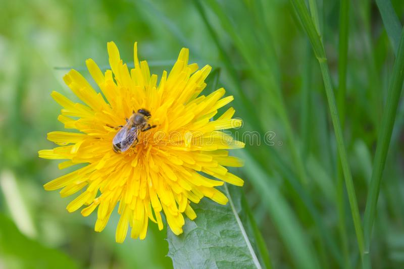 Bright yellow beautiful dandelion one flower with one bee on a green background. stock image