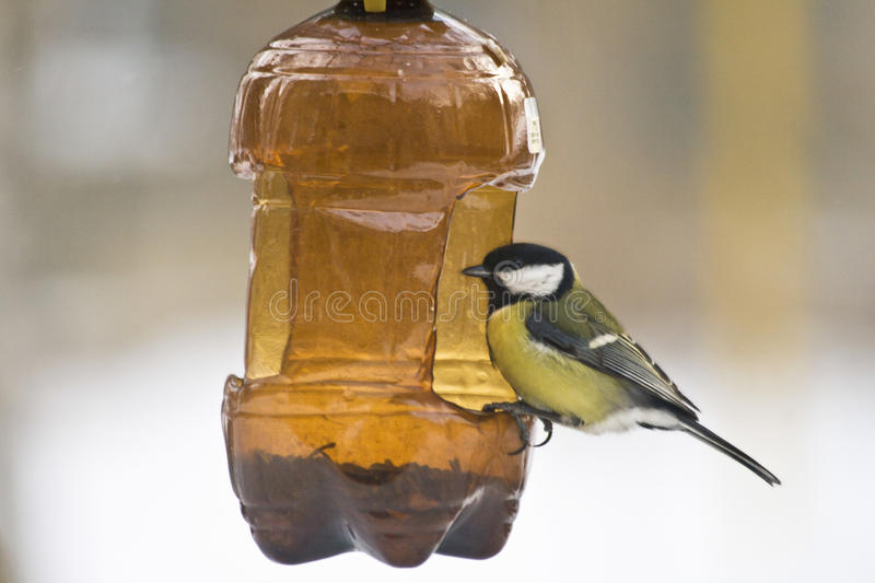 Bright Yellow Bird. Sitting on the Bird feeder from a plastic bottle. She eats sunflower seeds to stay warm in the cold winter stock photos