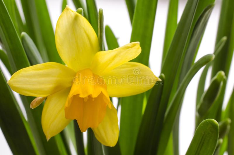 Bright yellow blooming narcissus with droplets of water royalty free stock image
