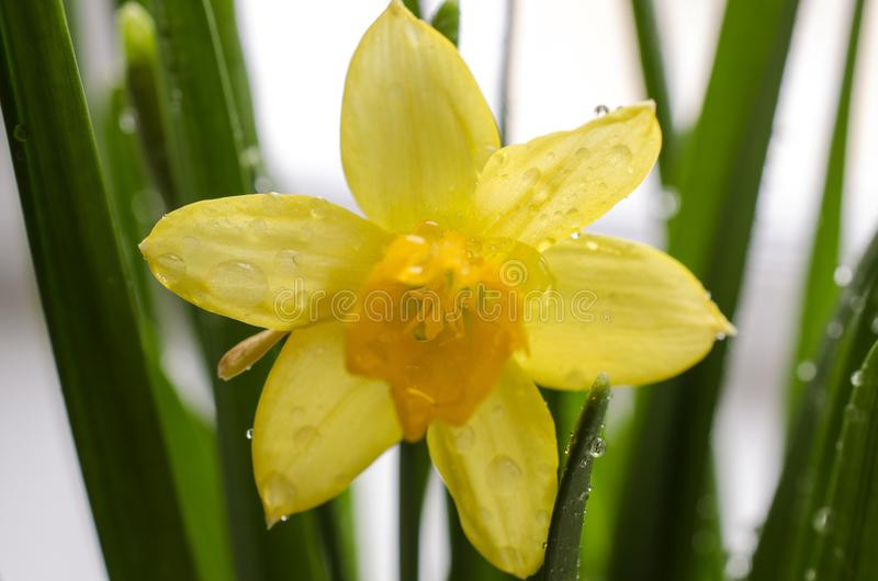 Bright yellow blooming narcissus with droplets of water royalty free stock images