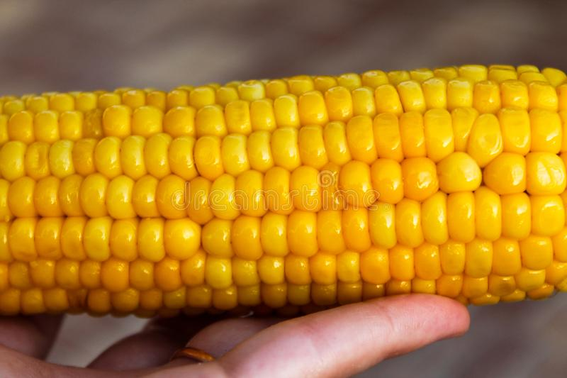 Bright yellow buttered corn cob in womans' hand. Closeup of shiny boiled maize with kernels. Harvesting object. Summer background for harvest festival stock photos