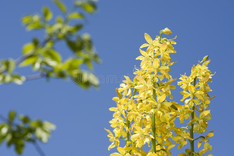 Yellow calanthe flowers royalty free stock photos