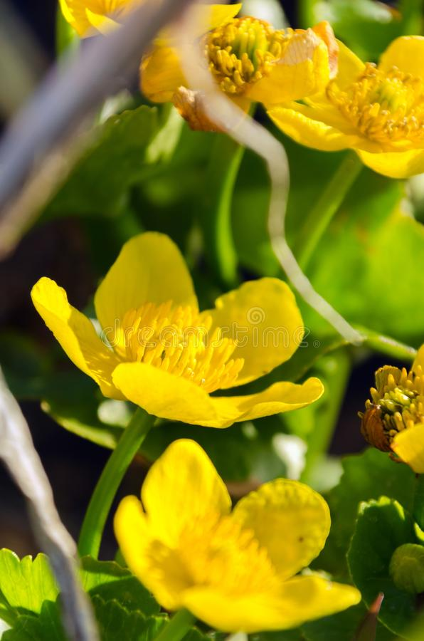Bright yellow Caltha flowers on green leaves background close up. Caltha palustris, known as marsh-marigold and kingcup flowers. Selective stock photos