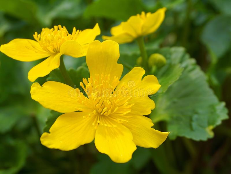 Bright yellow Caltha flowers on green leaves background close up. Caltha palustris, known as marsh-marigold and kingcup flowers. Spring flowers stock image