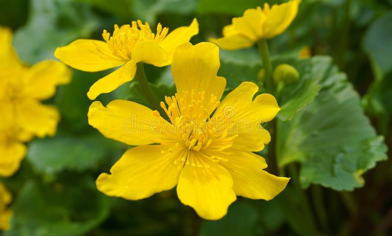Bright yellow Caltha flowers on green leaves background close up. Caltha palustris, known as marsh-marigold and kingcup flowers. Spring flowers royalty free stock image