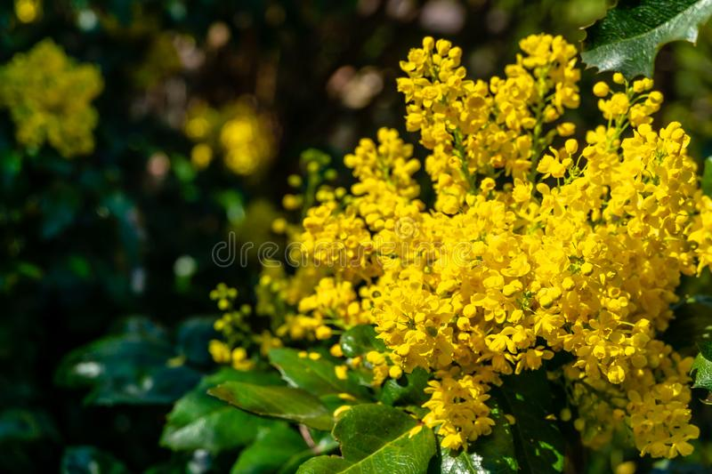 Bright yellow color of spring flowers Mahonia Aquifolium against the dark green of the plant stock photos