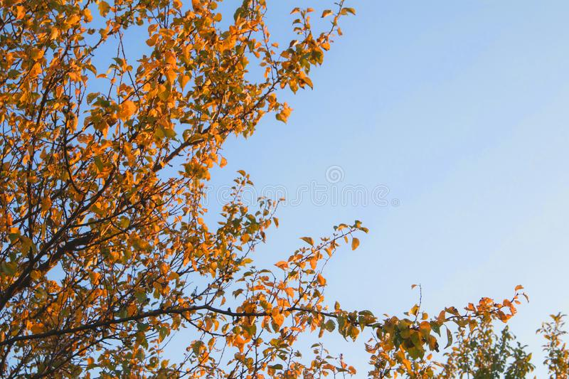 Bright yellow color trees in autumn time. Sky, branch, fall, orange, season, beauty, outdoor, beautiful, brown, landscape, leaf, natural, plant, blue, day royalty free stock photo