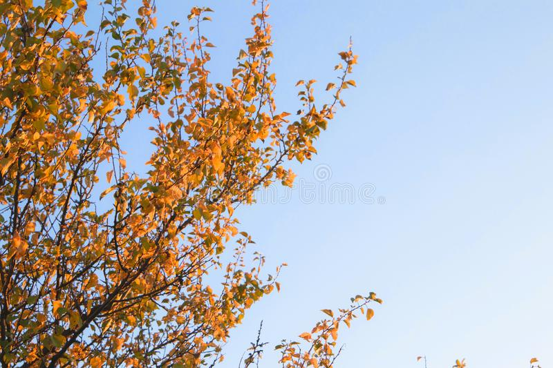 Bright yellow color trees in autumn time. Sky, branch, fall, orange, season, beauty, outdoor, beautiful, brown, landscape, leaf, natural, plant, blue, day royalty free stock photos