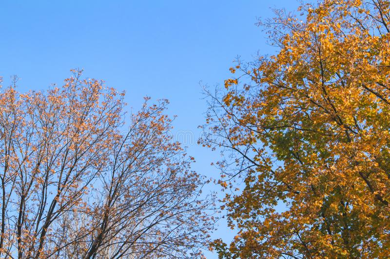 Bright yellow color trees in autumn time. Sky, branch, fall, orange, season, beauty, outdoor, beautiful, brown, landscape, leaf, natural, plant, blue, day royalty free stock photography