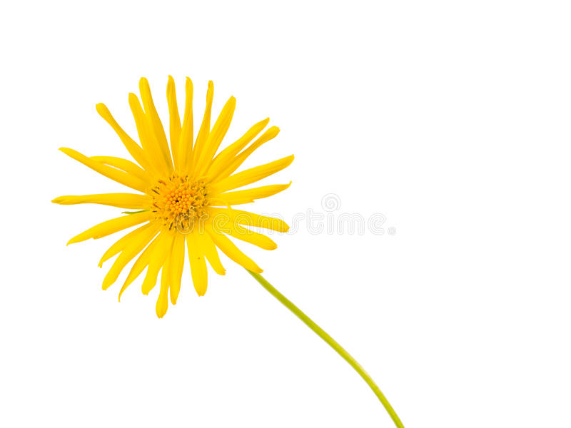 Download Bright Yellow Daisy Isolated Stock Photo - Image of freshness, growth: 14895118