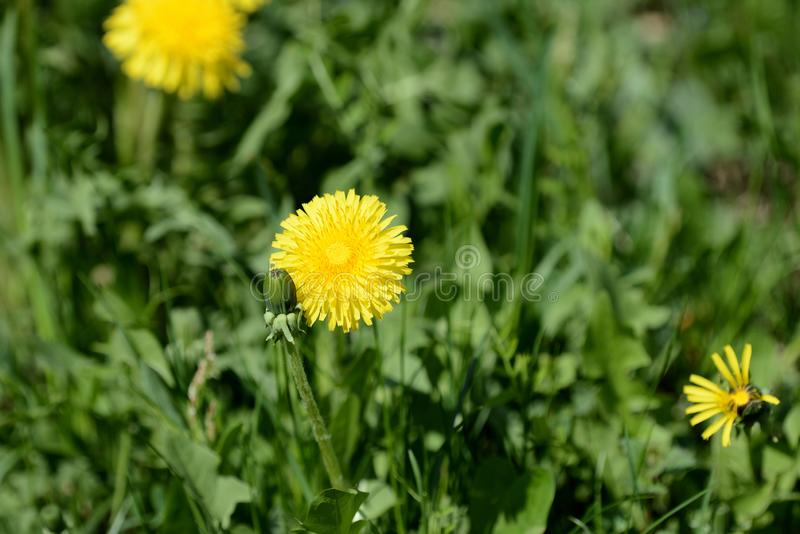 Bright yellow dandelion on a green lawn. Close up royalty free stock image
