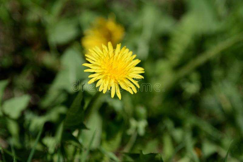 Bright yellow dandelion on a green lawn. Close up royalty free stock photography