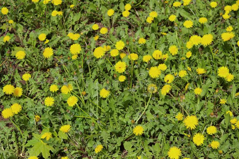 Bright Yellow Dandelion Growing On A Lawn. Beautiful Nature Background royalty free stock images