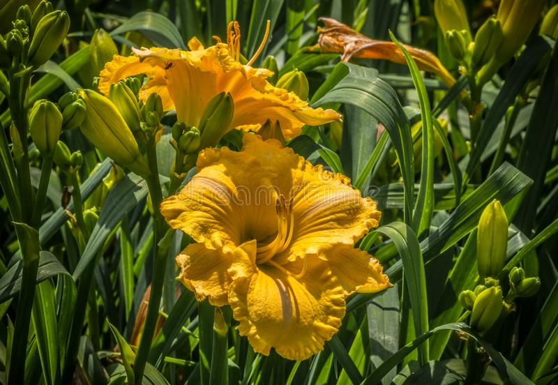 Bright yellow daylilies blooming royalty free stock photo