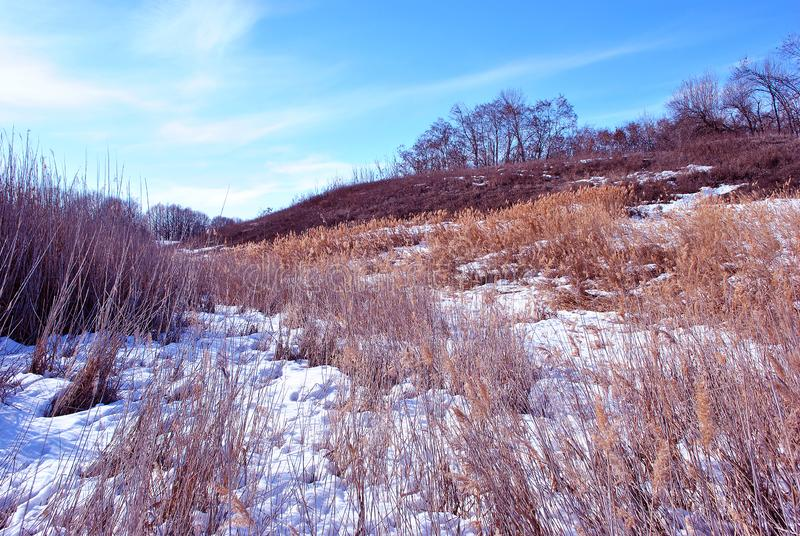 Bright yellow dry reeds on hills of river bank covered with snow, trees without leaves on horizon, blue sky background. Bright yellow dry reeds on hills of river royalty free stock images