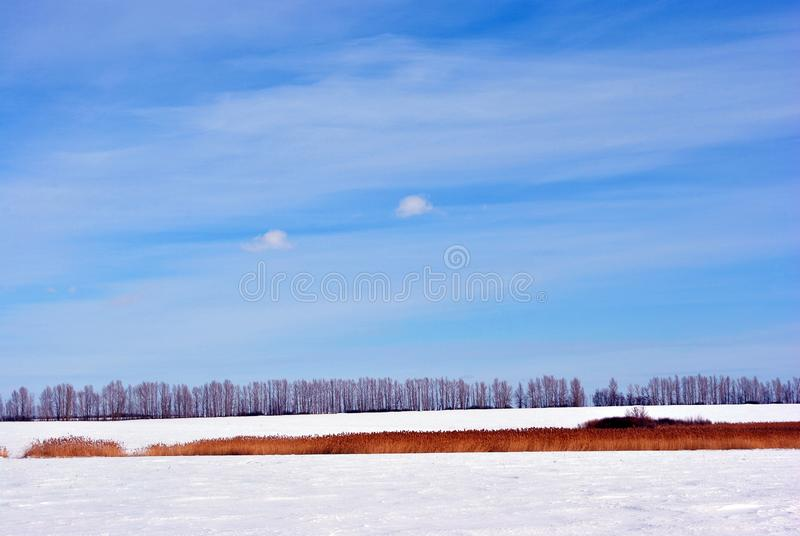 Bright yellow dry reeds line on river bank on meadow covered with snow, trees line on horizon, blue sky background royalty free stock photo
