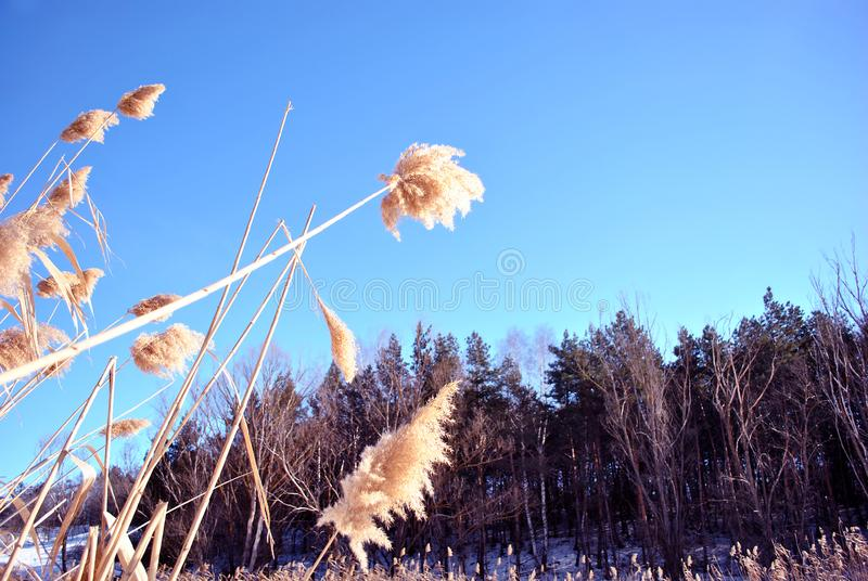 Bright yellow dry reeds and pine forest behind, bright blue sky, view from ground on top. Sunny day stock photos