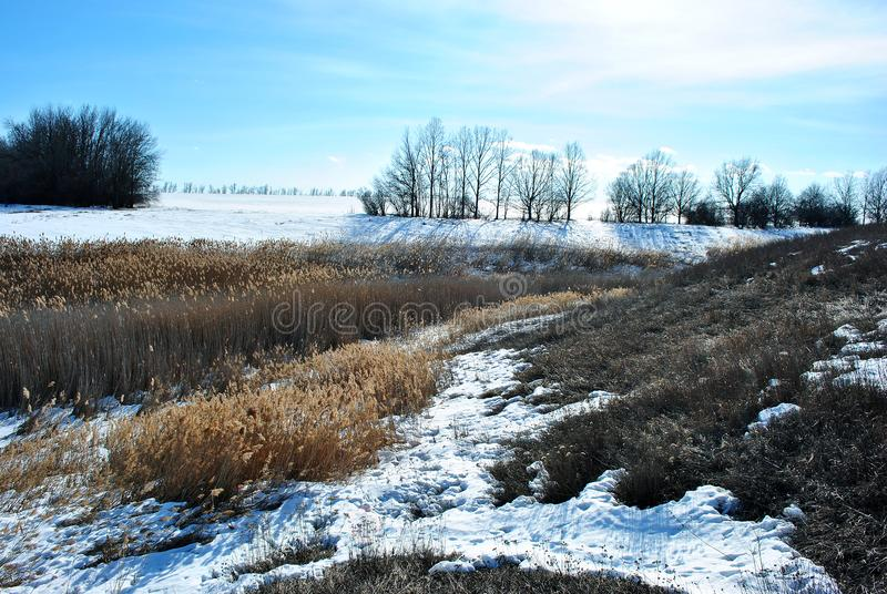 Bright yellow dry reeds on river bank covered with snow, blue sky royalty free stock images