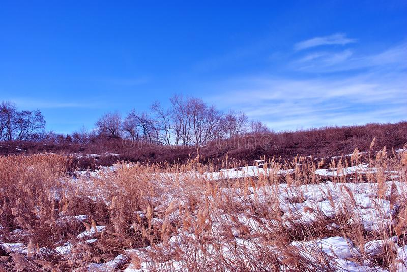 Bright yellow dry reeds on river bank covered with snow, sky background royalty free stock photos