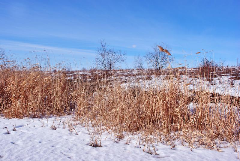 Bright yellow dry reeds on river bank  with trees without leaves, blue sky stock photos