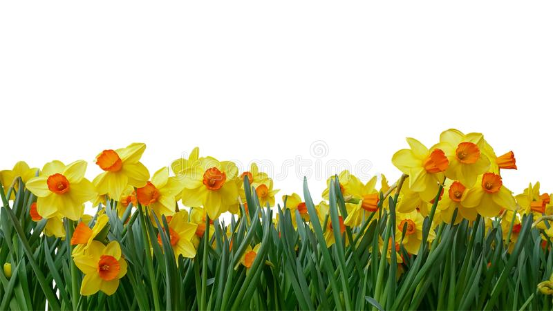 Bright yellow of Easter bells daffodils Narcissus spring flowe royalty free stock image
