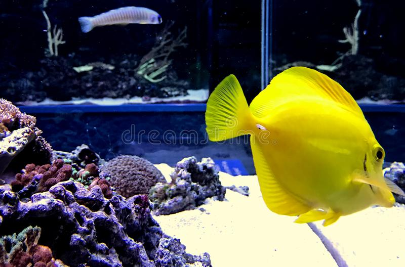 Bright yellow fish in Aquarium. A round and brighly colored yellow fish, swims in a large tank of aquarium stock image