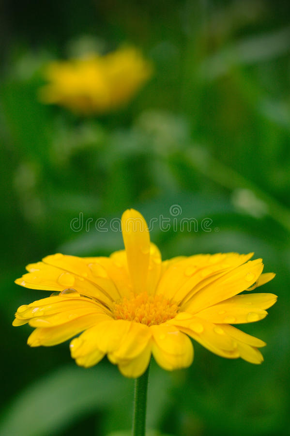 Bright yellow flower royalty free stock images