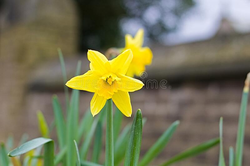Bright Yellow Flower In A Church Yard. Great Scene View Of A Bright Yellow Flower In A Church Yard On Saddleworth Moors  In Manchester England stock images