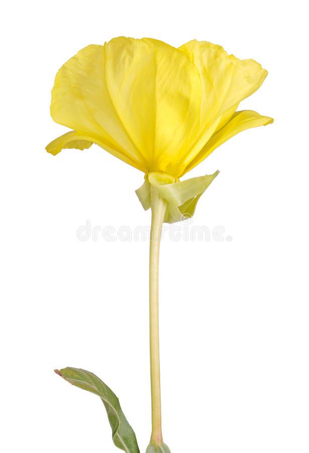 Bright yellow flower and leaf of the Missouri evening primrose i royalty free stock photos