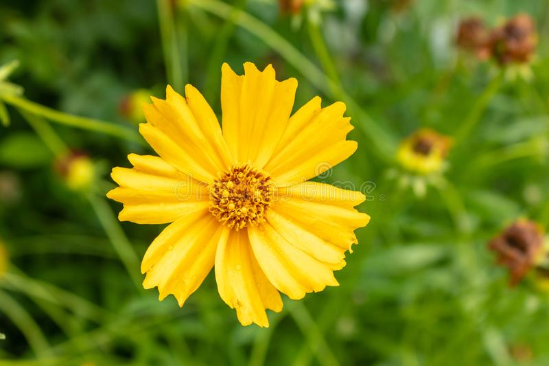 Bright yellow flower of Spearmint coreopsis Coreopsis lanceolata. close-up of coreopsis lanceolate blooms in mid-summer. Tula royalty free stock image