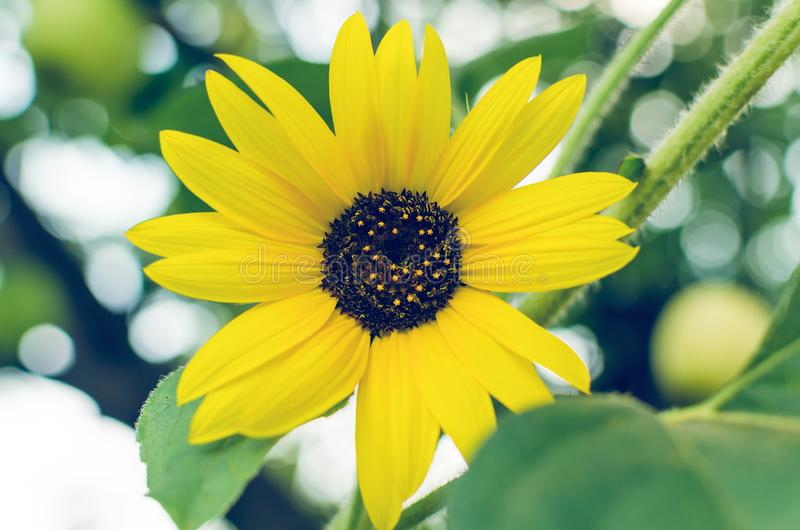 Bright yellow flower of a sunflower in the garden.  royalty free stock photo