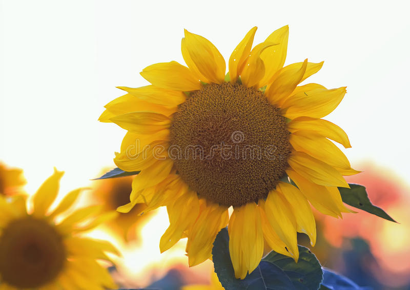 The bright yellow flower of a sunflower growing in field at suns. Bright yellow flower of a sunflower growing in field at sunset stock image