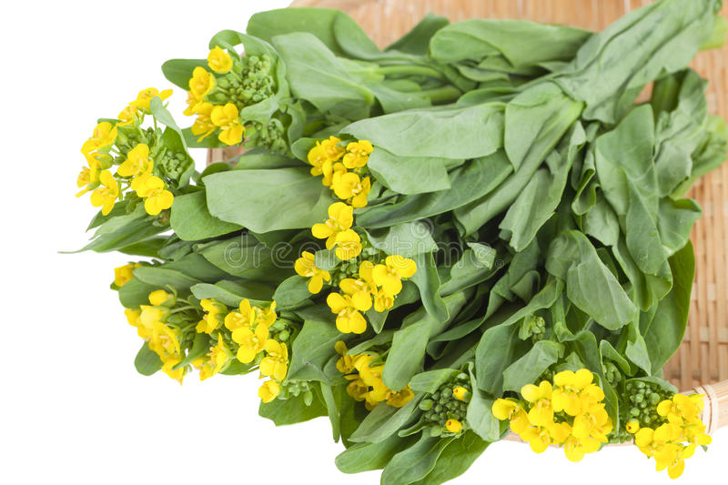 Bright and yellow flowering rapeseed vegetable stock photo image download bright and yellow flowering rapeseed vegetable stock photo image of cultivated vegetable mightylinksfo