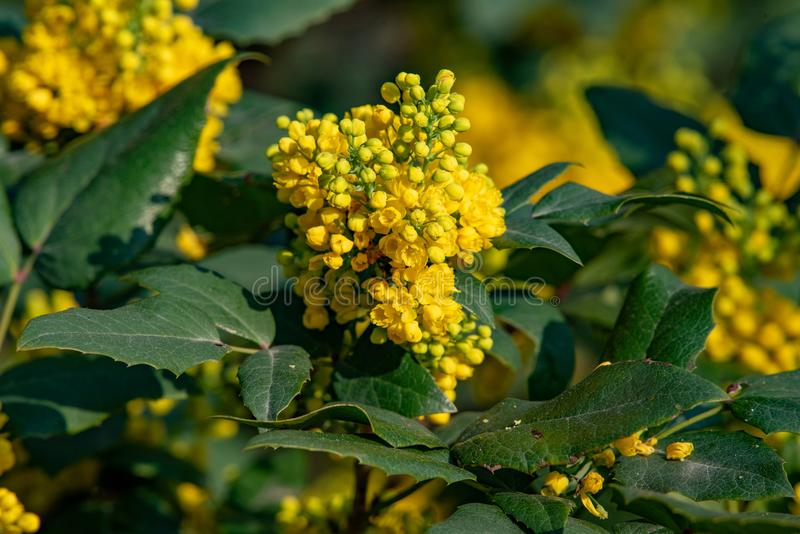 The bright yellow flowers of Berberis julianae also known as win royalty free stock photography