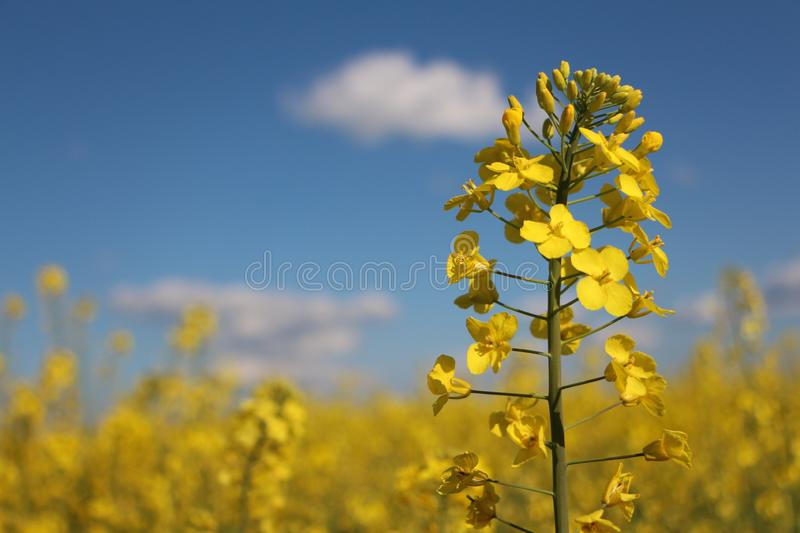 Bright yellow flowers on blue background royalty free stock image
