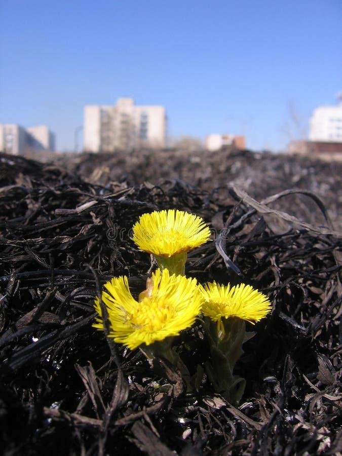 Bright yellow flowers on burnt blackened ground royalty free stock photo