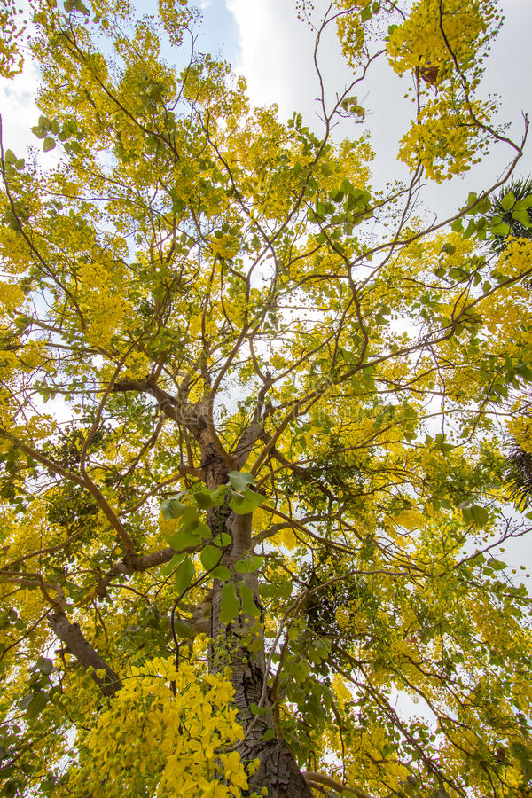 Bright yellow flowers of Cn Shower tree in bloomassia fistulaGolde. Cassia fistula,known as the golden rain tree,canafistula and by other names, is a flowering stock photo