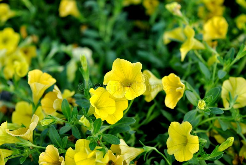 Bright Yellow Flowers Pansies stock image