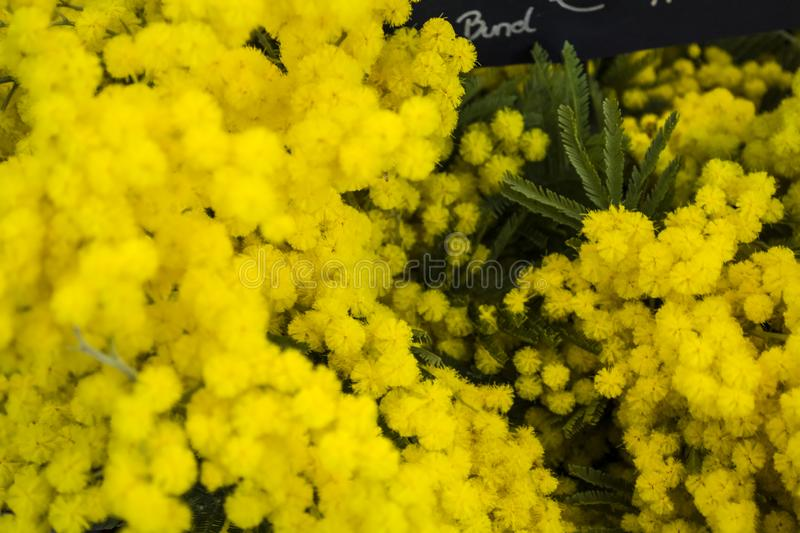 Bright and yellow flowers of spring of a mimosa. Bouquet. Holiday on March 8. Gift and congratulation. royalty free stock photos