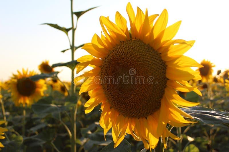 Bright yellow flowers of sunflowers stock image