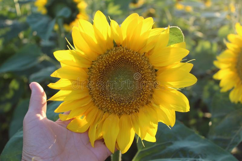 Bright yellow flowers of sunflowers royalty free stock photo