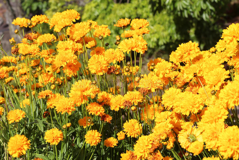 Bright yellow flowers royalty free stock photo
